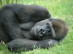 Parisienne või gorilla?
