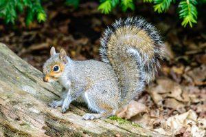 Pildil on orav.
